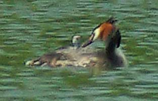 Distant Grebe with new chick