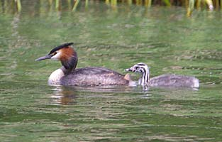 Just one young Grebe so far