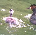 Grebe with young 30th June 2001