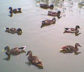 Mallards in eclipse plumage 7th July 2001
