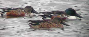 3 of the 5 Shoveler at the res today